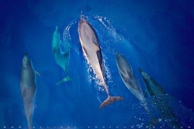 Stenella Coeruleoalba dolphins