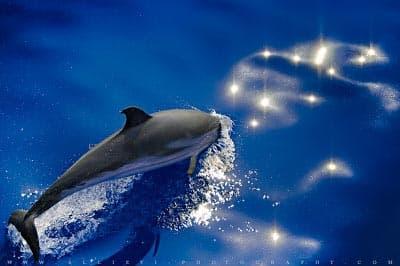 Stenella Coeruleoalba dolphin