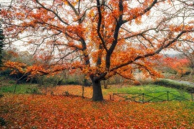 Tree in autumn with carpet of red leaves