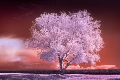 Tree infrared photo