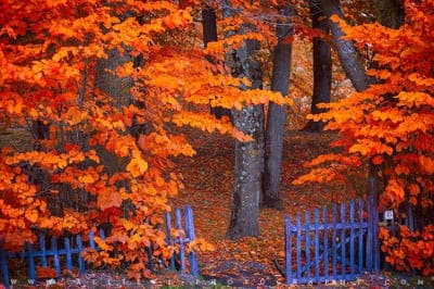Trees in autumn with red foliage. A blue wooden fence sits in the foreground.